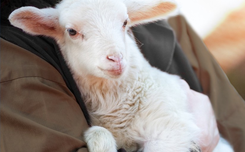 Being a Lamb